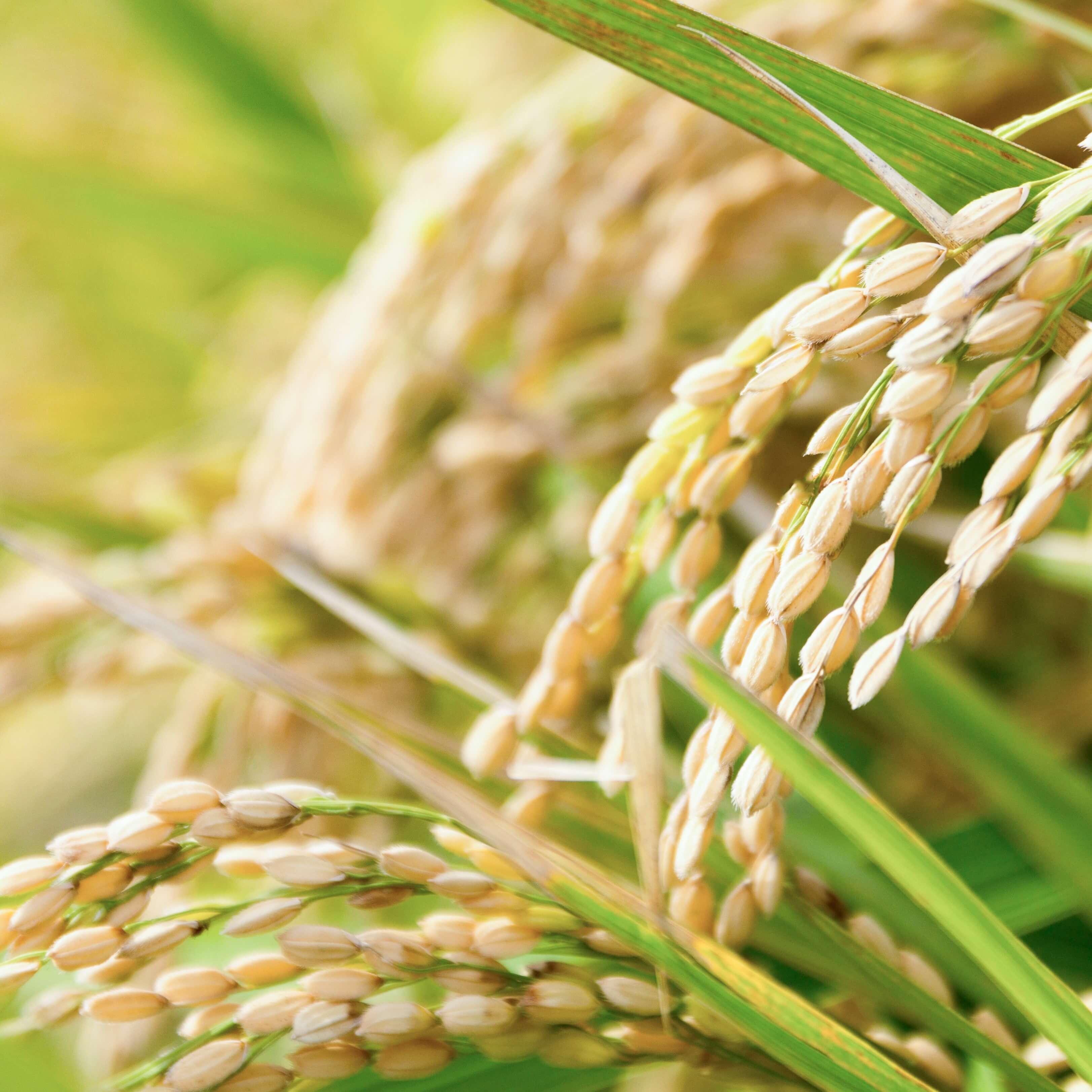 お米について(構造)
